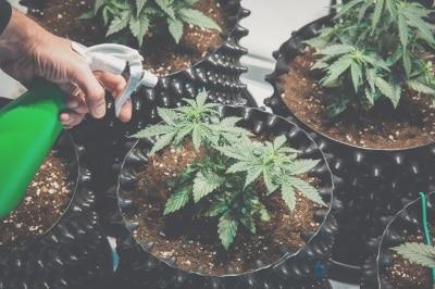 culture-du-cannabis-fleurs-cbd-graines-fibres-french-hemp-factory-2020