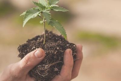 pousse-cannabis-fleurs-cbd-graines-fibres-french-hemp-factory-2020