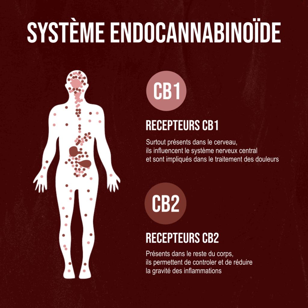 Le système endocannabinoïde présent dans le corps humain. Les récepteurs de CBD